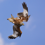 Avatar von Red Kite